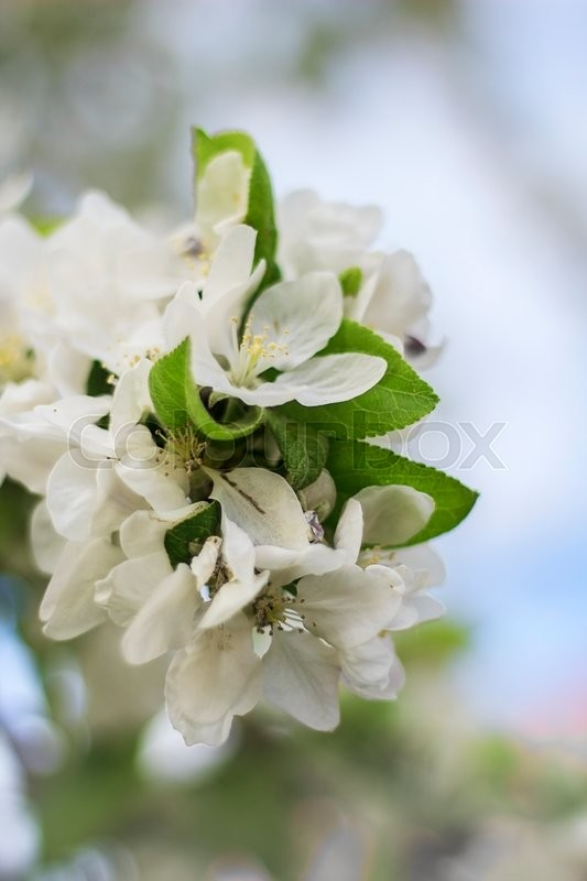 Stock image of 'blooming apple twig against a blue sky'