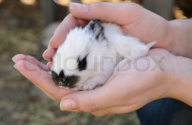 Stock image of 'white Baby bunny with black nose in lady hands'