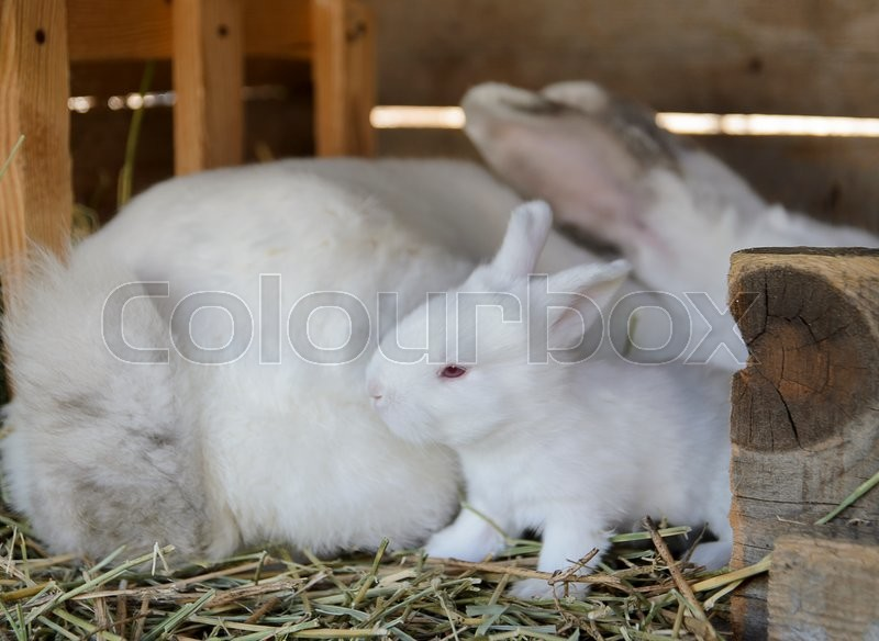 Stock image of 'white baby bunny with his mother in a hutch'