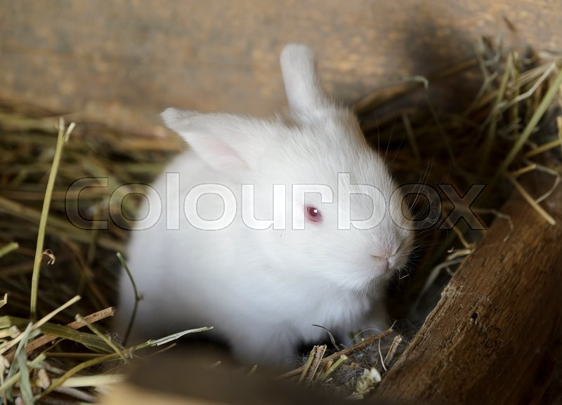 Stock image of 'sweet white baby bunny in a hutch'