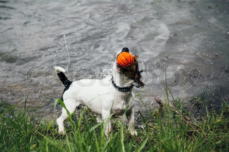 Stock image of 'small dog breeds Jack Russell Terrier with colourful ball in his mouth shakes off water after bathing in the river'