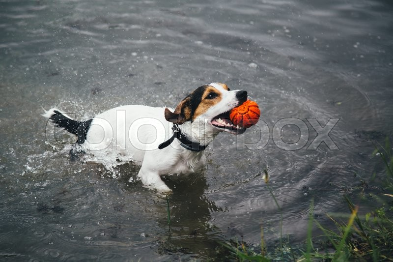 Stock image of 'a small breed dog Jack Russell Terrier plays with a bright ball in the river'