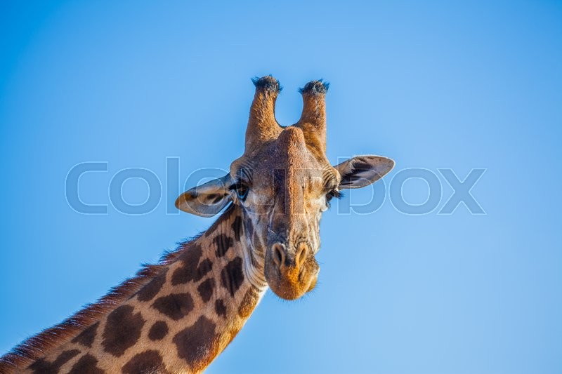 Stock image of 'A typical african giraffa watching straight to camera lens'