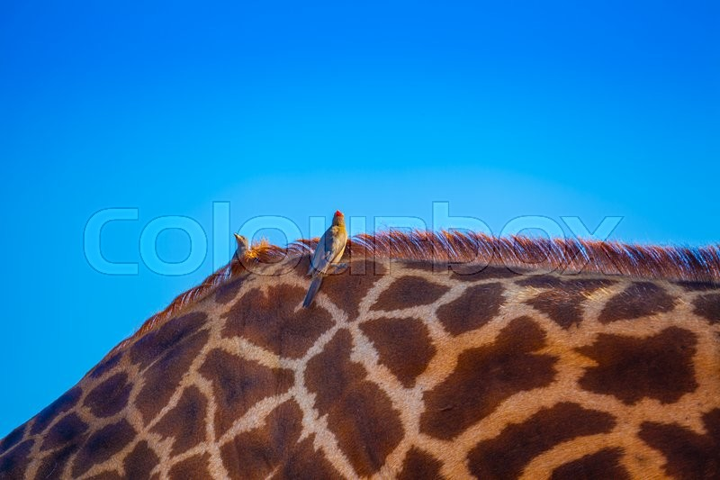 Stock image of 'African birds laying over an african giraffa back'