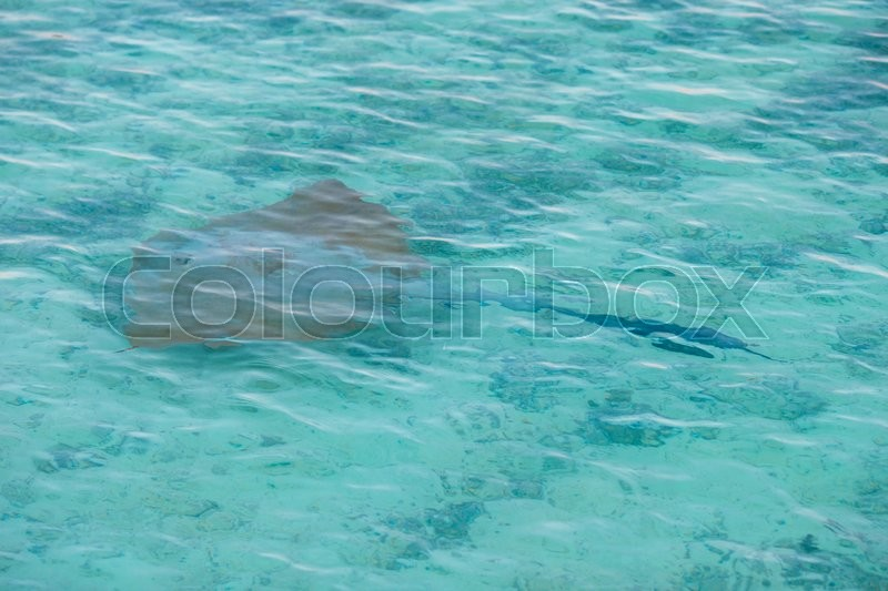 Stock image of 'Manta ray floating underwater among other fish'