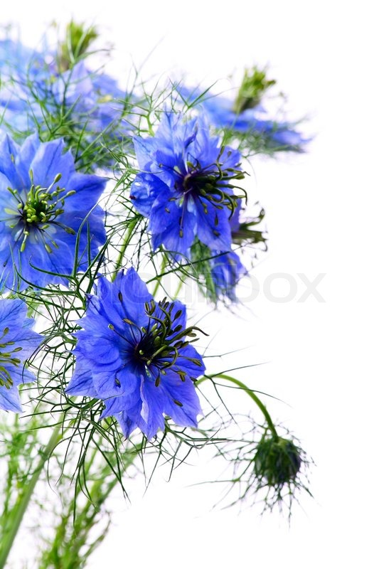 http://www.colourbox.com/preview/1955568-123953-beautiful-blue-flowers-on-a-white-background.jpg