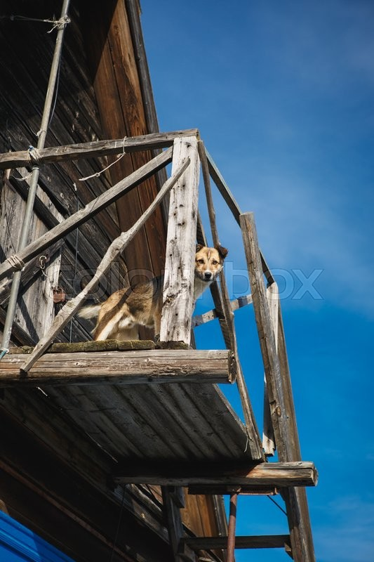 Stock image of 'the dog is standing on her balcony one-storied wooden house and looking at the camera'