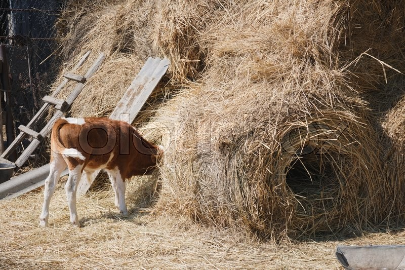 Stock image of 'a young brown calf eats hay head buried in the haystack in the village in the summer'