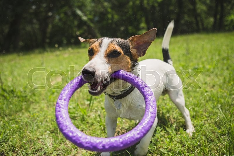 Stock image of 'small dog breed Jack Russell Terrier playing on the grass with a bright ring'