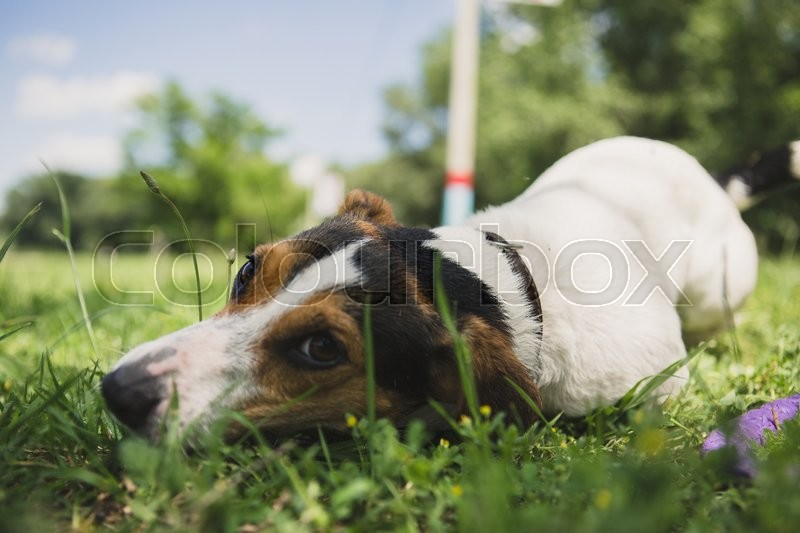 Stock image of 'small dog breed Jack Russell Terrier lies on the grass and looking at the camera'