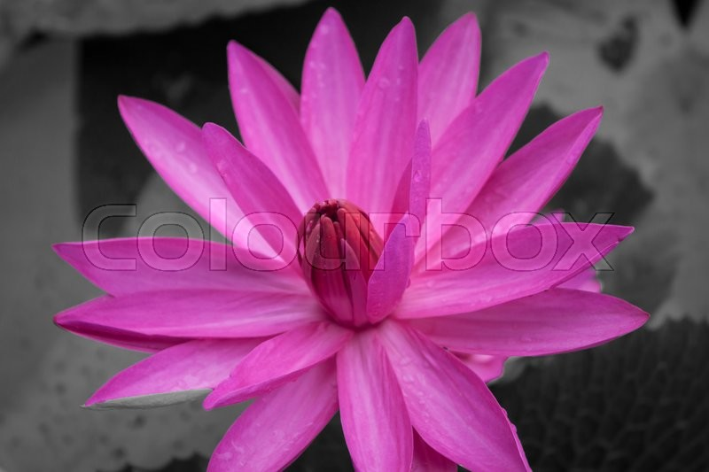 Stock image of 'Pink lotus blossoms blooming on black and white background, stock photo'