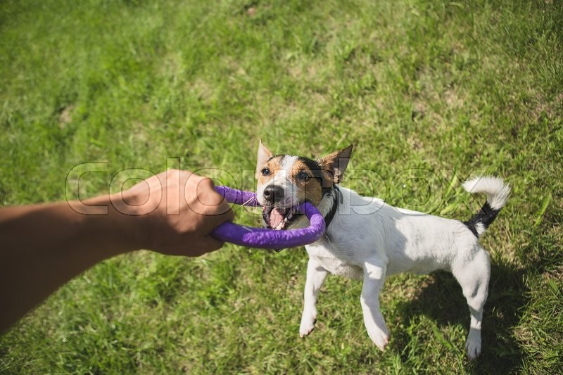 Stock image of 'man playing with small dog breeds Jack Russell Terrier in a bright ring on the grass on a summer day'
