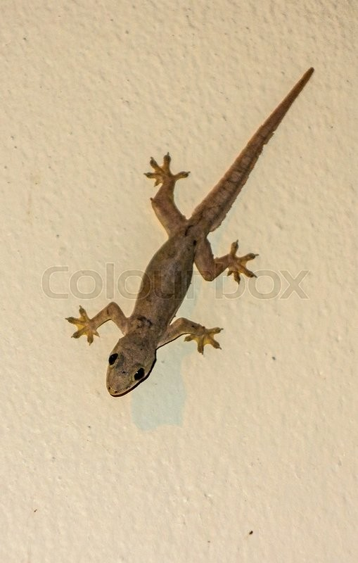 Stock image of 'Small Gray Gecko Lizard on a Colored Background'