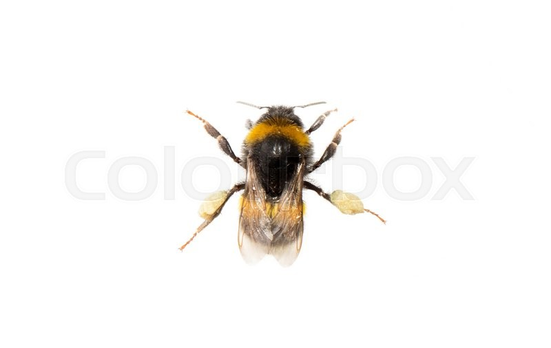 Stock image of 'Small bee, isolated on a white background'