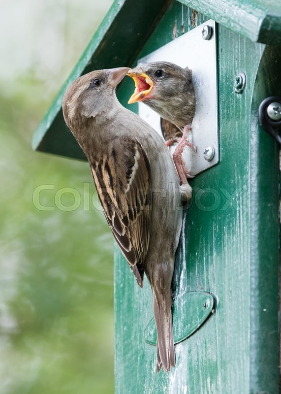 Stock image of 'Adult sparrow feeding a young sparrow in a birdhouse'
