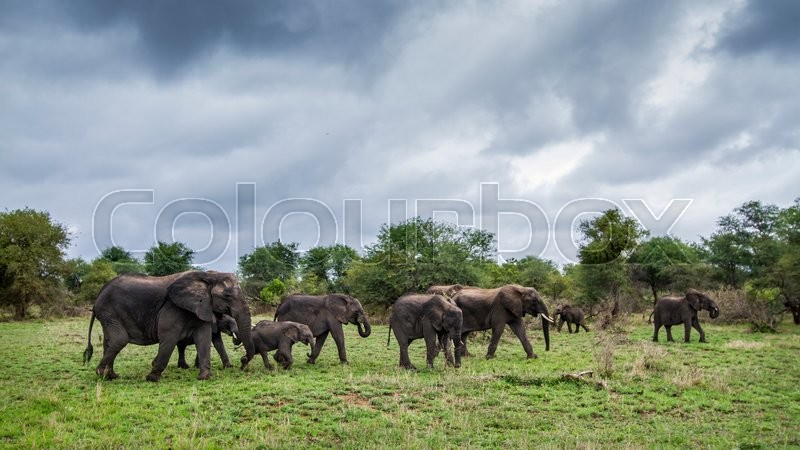 Stock image of 'African bush elephant in Kruger National park, South Africa'