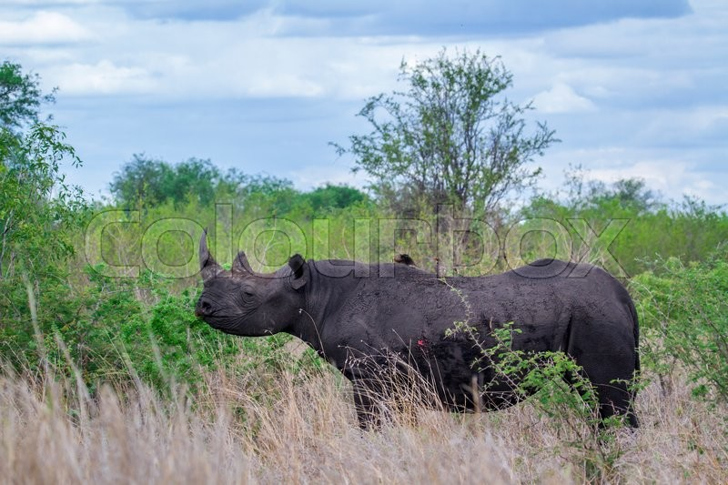 Stock image of 'Black rhinoceros in Kruger National park, South Africa'