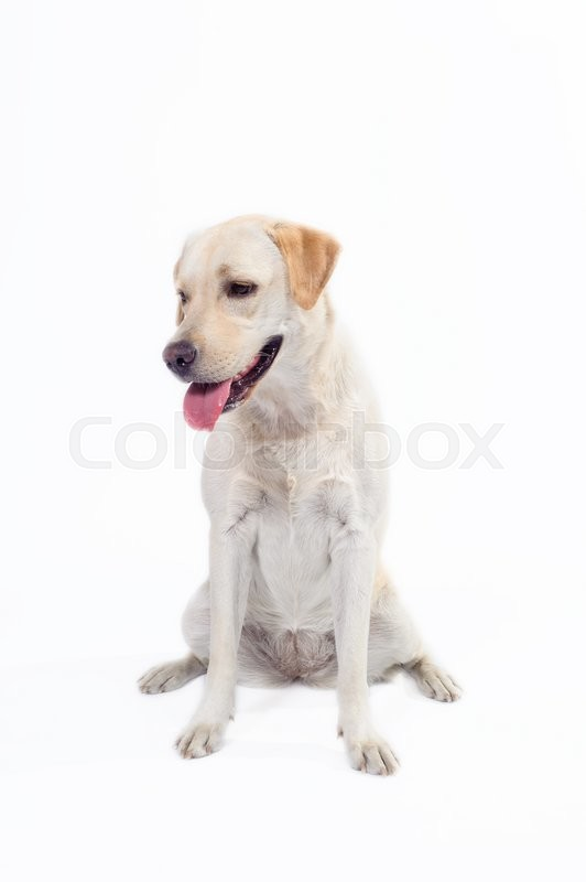 Stock image of 'golden labrador - retriever on a white background in studio'