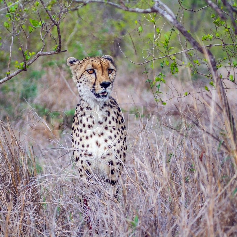 Stock image of 'Cheetah in Kruger National park, South Africa'