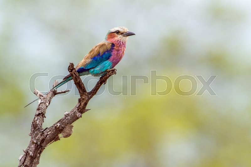 Stock image of 'Lilac-breasted roller in Kruger National park, South Africa'