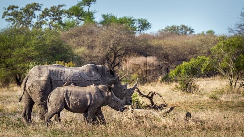 Stock image of 'Southern white rhinoceros in Kruger National park, South Africa'