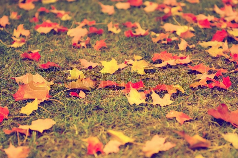 Stock image of 'Autumn natural flat vintage hipster background with colorful red maple leaves on a green grass'