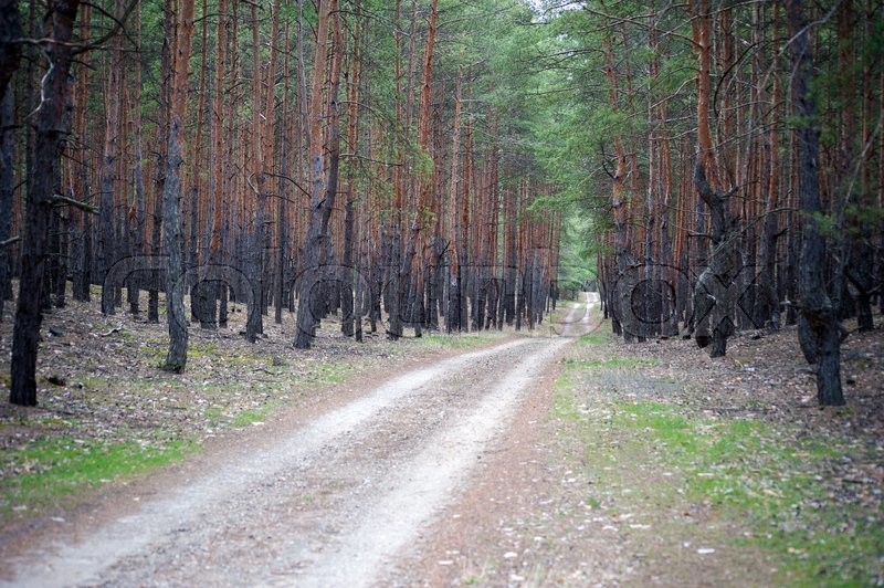Stock image of 'Road in the pine forest'