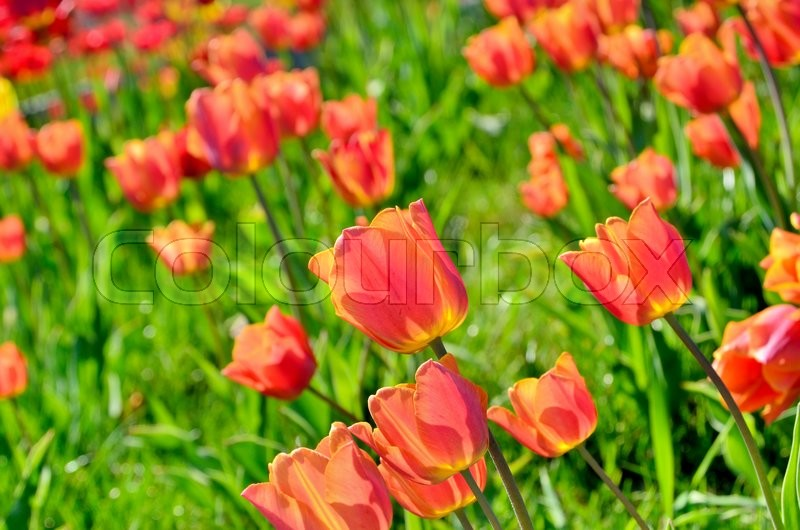 Stock image of 'Red young tulip blossom among green grass'