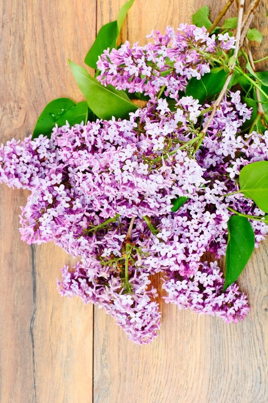 Stock image of 'Spring Flowers of Lilac Studio Photo'