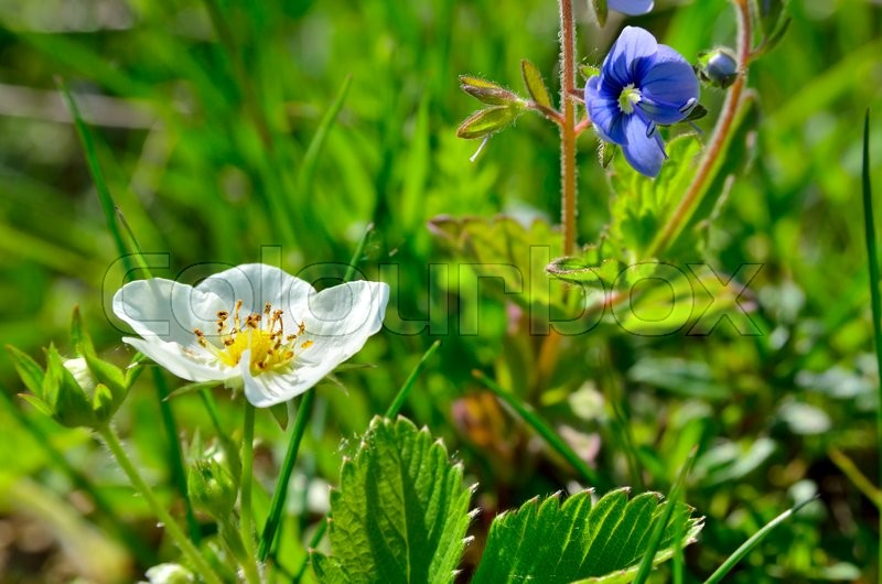 Stock image of 'White flowers of wild strawberry in the forest in summer'