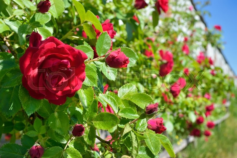 Stock image of 'Red rose bloom in garden on background of blue sky'