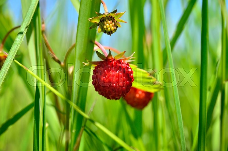 Stock image of 'Berry wild strawberries growing in the grass in the forest'