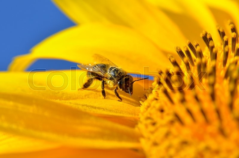 Stock image of 'Honeybee collects nectar on the flowers of a sunflower'
