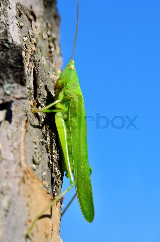 Stock image of 'Young, green grasshopper sits on a tree in the garden'