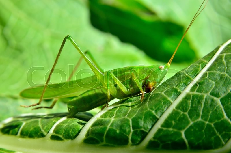 Stock image of 'Young, green grasshopper eats the leaves in the garden'