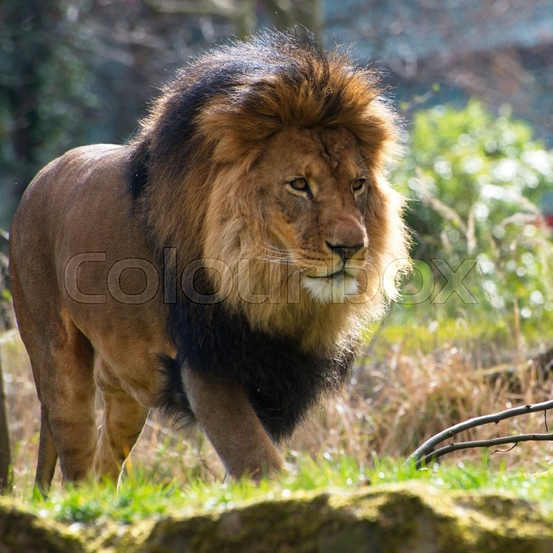 Stock image of 'lionClose-up of big male African lion on black background'