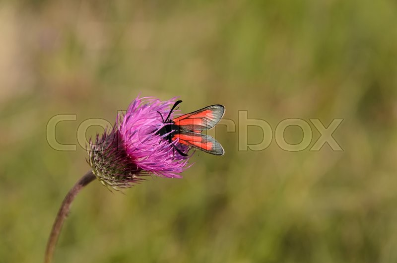 Stock image of 'close up photo of a butterfly on purple bull thistle flower'