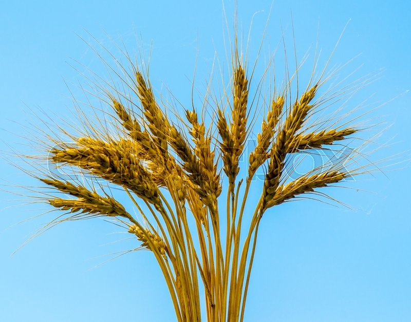 Stock image of 'Ears of wheat. ears of wheat on a blue background'