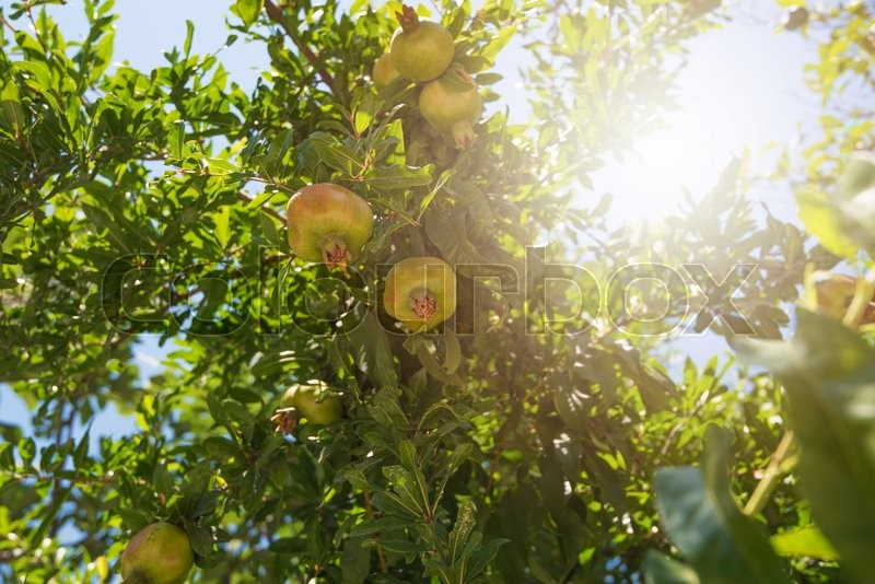 Stock image of 'Green pomegranate on tree in a garden'