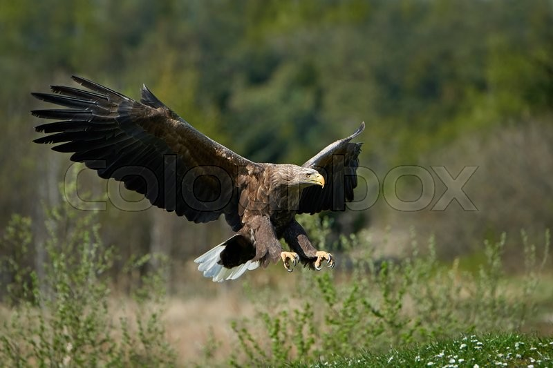 Stock image of 'White-tailed eagle in flight with vegetation in the background'