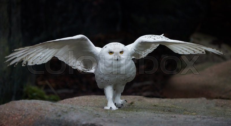 Stock image of 'Snowy owl with open wings in its habitat'