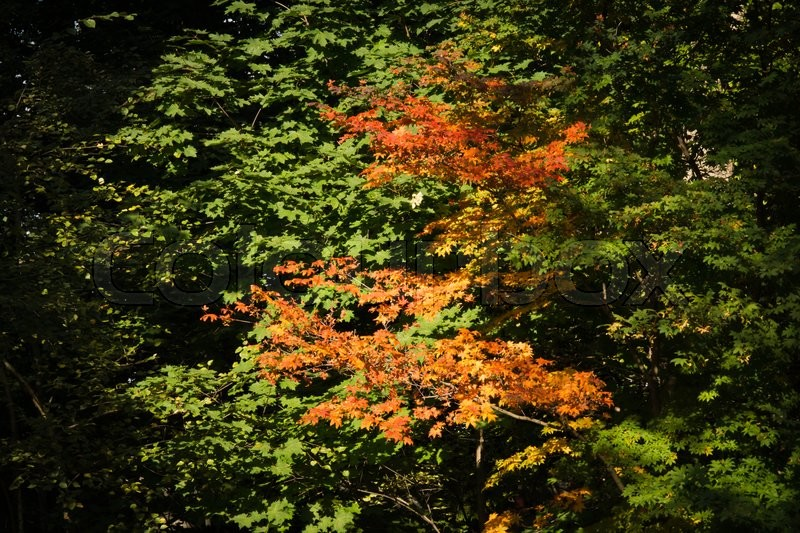 Stock image of 'colorful foliage on trees in the autumn forest'