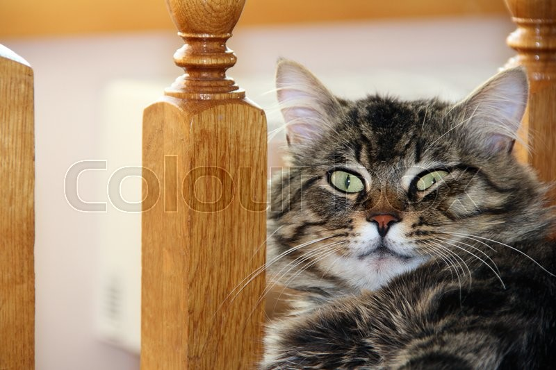 Stock image of 'big striped cat or kitten indoors. photo.'
