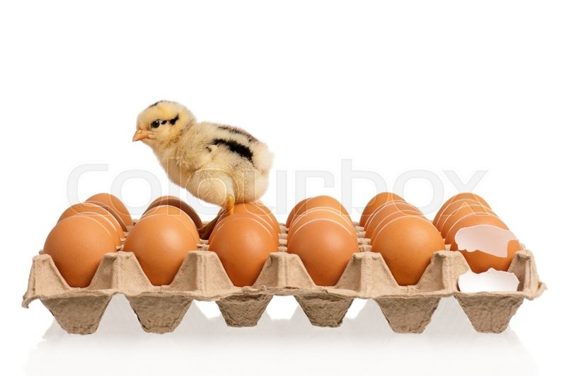 Stock image of 'One little chicken with many eggs, isolated on white background '