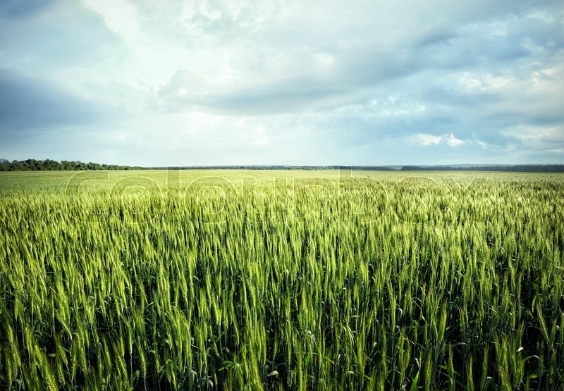 Stock image of 'Field with green ears of wheat under cloudy sky'