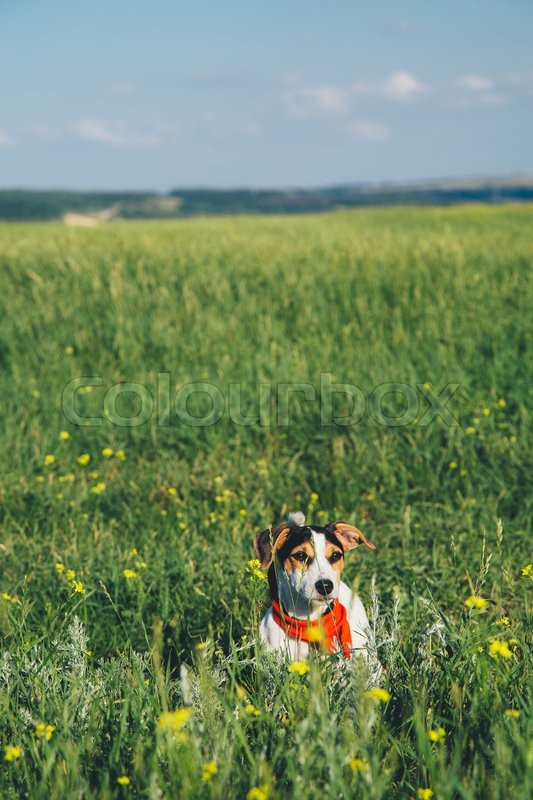 Stock image of 'small dog breeds Jack Russell Terrier in a red scarf sitting in the grass on a summer day'