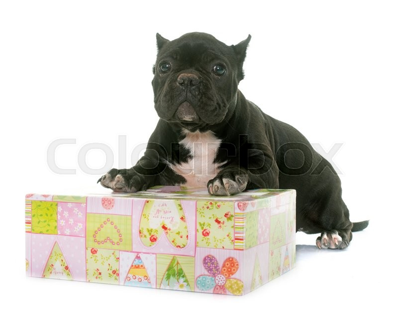 Stock image of 'puppy american bully in front of white background'