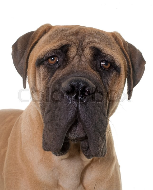 Stock image of 'young bull mastiff in front of white background'