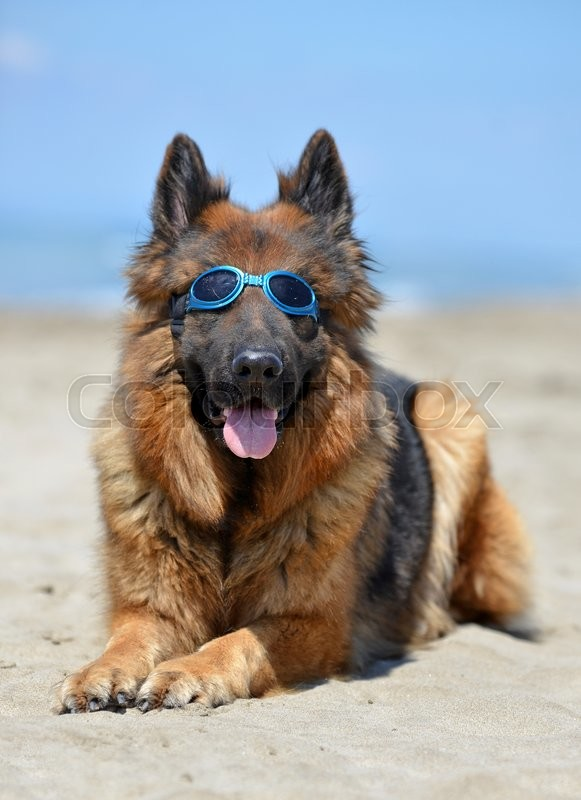 Stock image of 'german shepherd with sunglasses on the beach'