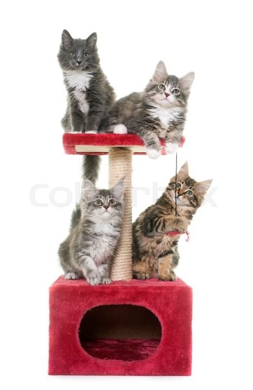 Stock image of 'maine coon kitten o, scratching post in front of white background'